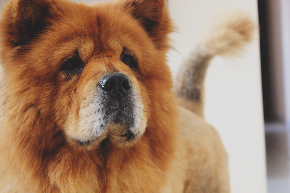 6/12 | Hundeudstilling, Chow Chow